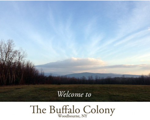 buffalo-colony