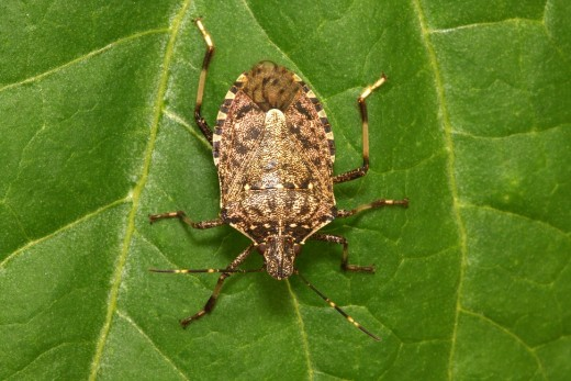 stink bug2