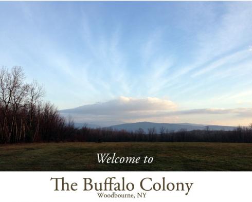 buffalo-colony