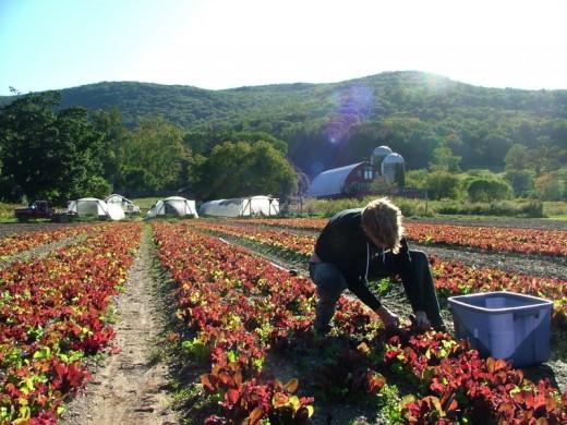 Jamie Harvesting